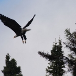 Eagle - Gods Lake