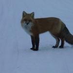 Fox winter - Gods Lake
