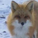 Fox at Gods Lake