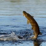 jumping-fish
