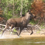 Moose - Gods Lake